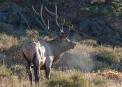 Elk-RMNP--_NAW1875-October_09_2015