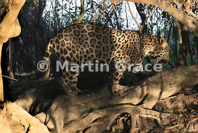 Male Jaguar (Panthera onca) known as Marley stops to sniff where perhaps another Jaguar has scent-marked by spraying urine, R...