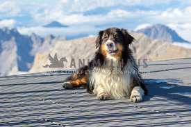 An australian shepherd in front of a mountain backdrop