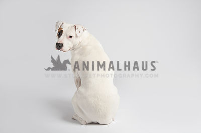 white american bulldog pitbull mix, sitting on a white background, looking back to the camera