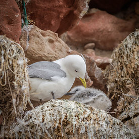 Kittiwake (Rissa tridactyla) nesting with young chick in rocks at Dunbar Castle on the east coast of Scotland.