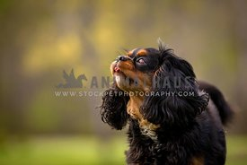 king charles cavalier spaniel sticking out tongue