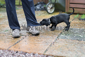Naughty puppy pulling owner's trousers