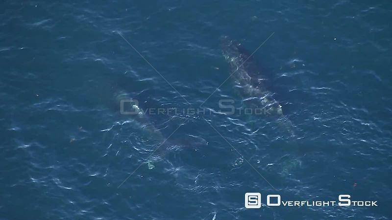 Aerial of two humpback whales swimming in the sea. Western Cape South Africa