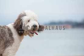 close up of sheepadoodle with tongue out on windy day