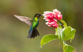 Fiery-Throated Hummingbird, Costa Rica
