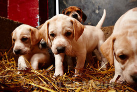 Pytchley_Hunt_Pups_2014_0171