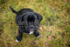 Cute black Cane Corso Puppy with puppy eyes