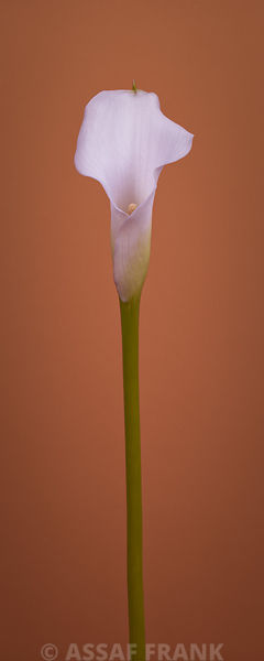 Calla Lily photos