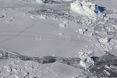Aerial view of intersecting tracks of Polar Bear {Ursus maritimus} on sea ice, Wapusk NP, Manitoba, Canada