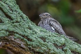 Common Nighthawk Roosting in Dry Tortugas National Park