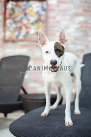 white young dog on lounge chair