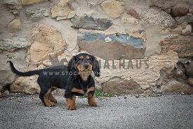 Marvelous dachshund puppy dog standing in front of stony textured wall