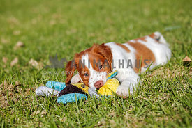 Brittany spaniel puppy lying on grass playing with a stuffed toy