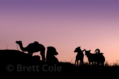 Camels and stray dogs are silhouetted at sunrise at the Pushkar Camel Mela, Pushkar, Rajasthan, India.