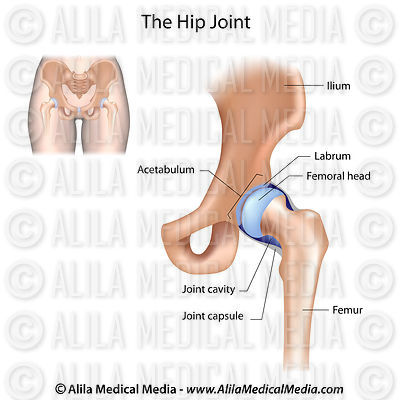 Hip joint structure, labeled.