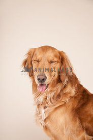 smiling golden retriever with eyes closed tongue out portrait
