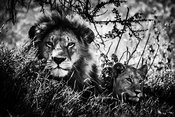 08226-Lion_cub_and_father_Tanzania_2018_Laurent_Baheux