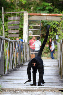 Peruvian spider monkey ( Ateles chamek ) walking on footbridge at wildlife sanctuary , tourists in background