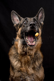 German Shepherd Dog catching food