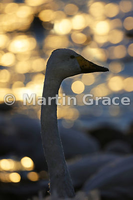 Backlit Whooper Swan (Cygnus cygnus) virtually in silhouette with beautiful bokeh behind, Lancashire, England