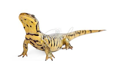 Tiger Salamander on White Lifting Head