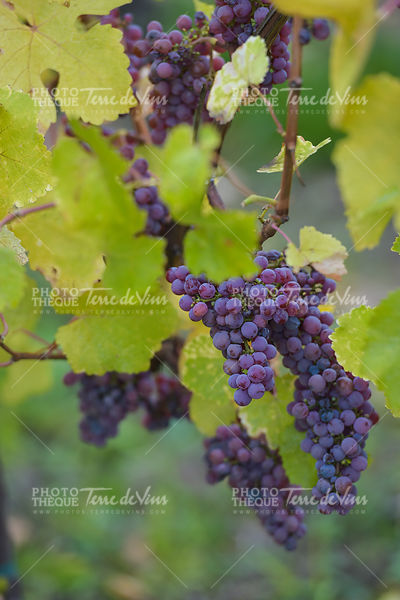 Gewurztraminer grape bunches, Alsace, vendange time, France