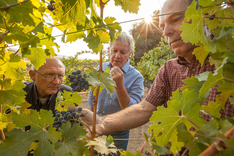 Winemaking team examining grapes before harvest in a Healdsburg vineyard by Sonoma County photographer Jason Tinacci