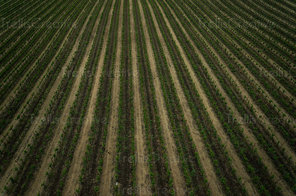 Aerial photo of straight grapevines in a field