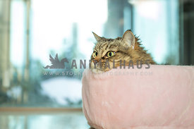 brown tabby with head on side of pink bed