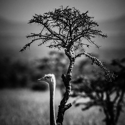 49012-Bird-Ostriches_Kenya_2013_Laurent_Baheux