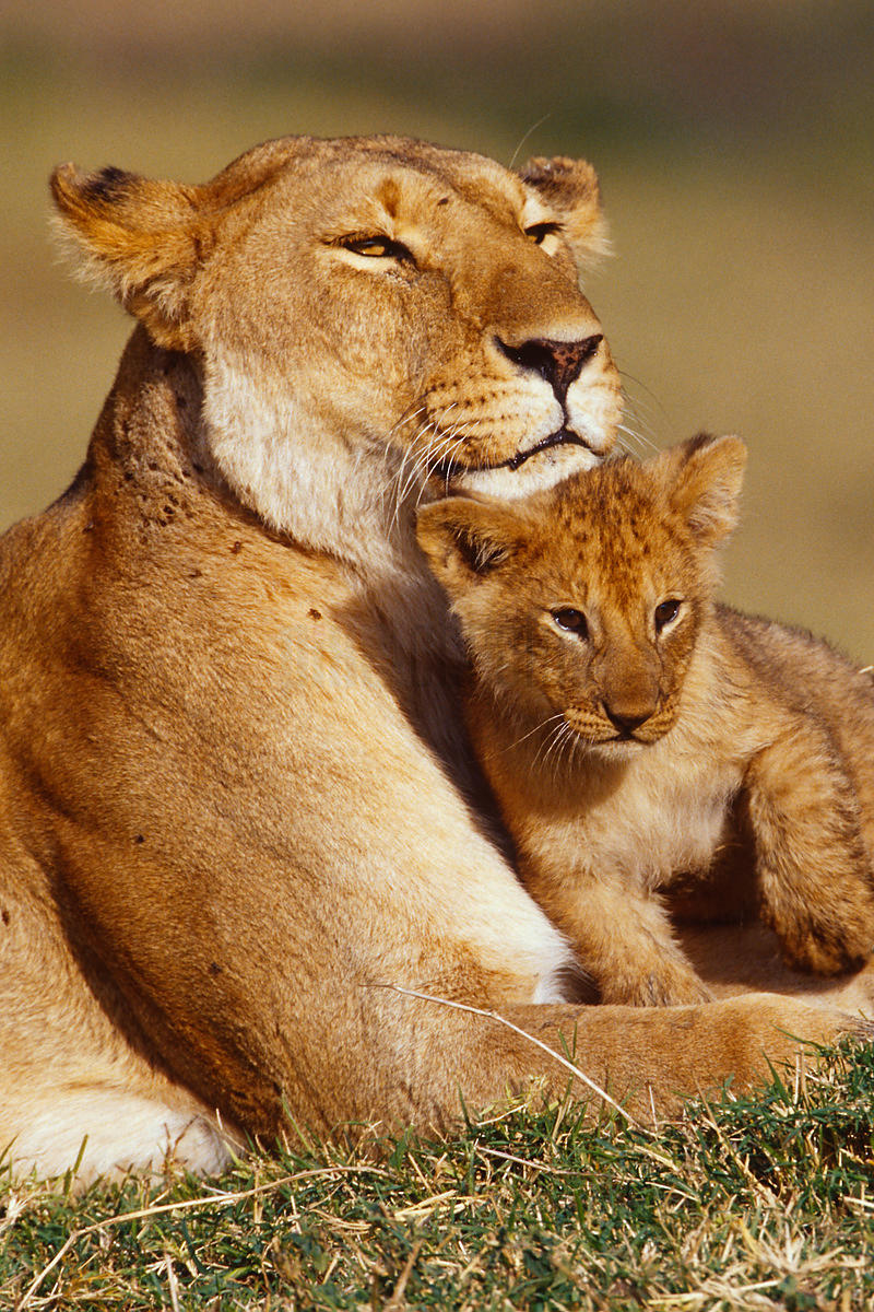 Lioness and cub (Panthera leo) showing affection