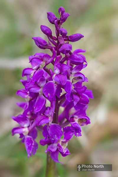 ORCHID 01A - Early Purple Orchid