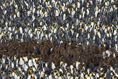 King Penguin (Aptenodytes patagonicus) large colony with chicks and adults, Saint Andrews Bay, South Georgia