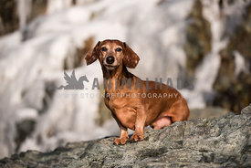 Dachshund Standing on a rock facing camera