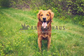happy golden retriever standing tongue out in grass