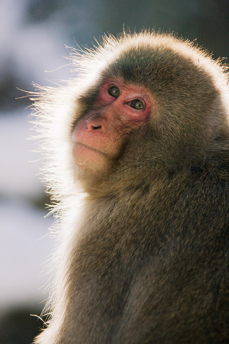 Close-up of a Japanese macaque (Macaca fuscata)