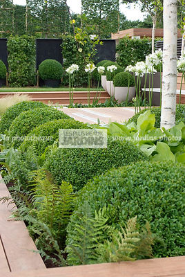 Ball shaped, Betula, Birch, Bush, Buxus, Contemporary garden, Evergreen, Sphere shaped, Topiary, Common Box, Digital, Formal ...