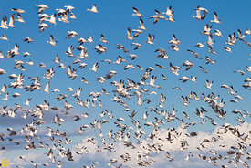 Snow Geese Taking Flight #4