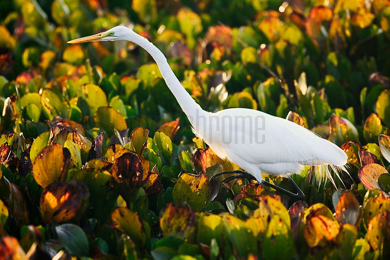 Great Egret hunting in water hyacinth, Transpantaneira Highway, Pantanal, Mato Grosso, Brazil