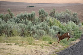 Fawn Leaping Off Road