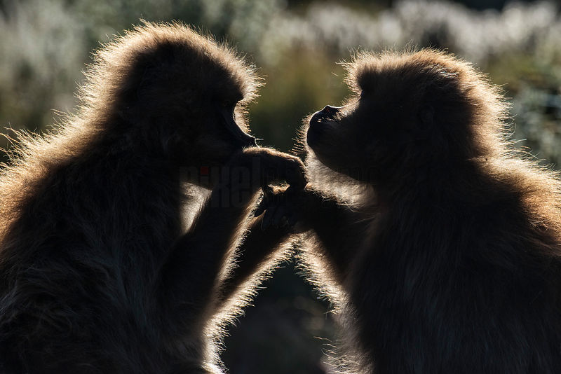 Gelada Baboons Grooming One Another
