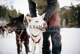 man adjusts harness on two smiling alaskan husky sled dogs
