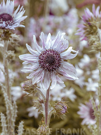 Blooms of Berkheya flowers