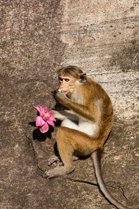 Toque Macaque Eating a Lotus Flower left as an Offering at Gal Vihara