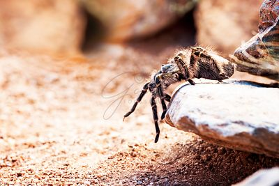 Hairy Striped Knee Tarantula On Rock