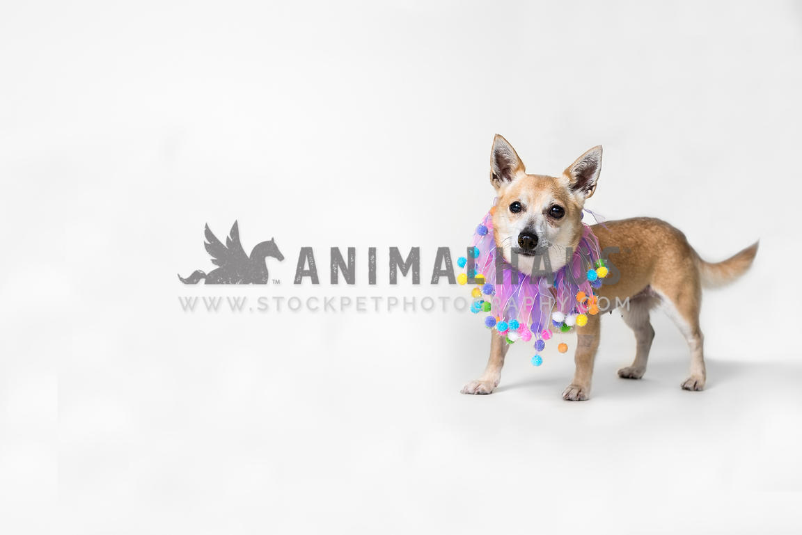 Rescue chihuahua mix wearing party collar against a white background