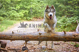 Husky jumping a log in the woods