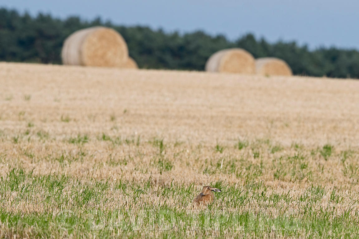 Brown Hare Lepus europaeus in stubble field in late summer North Norfolk
