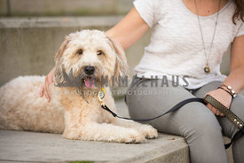 doodle sitting happy next to owner